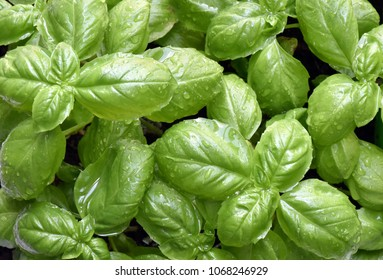 Close up birds eye view of a bright green basil herb plant showing lush leaves
