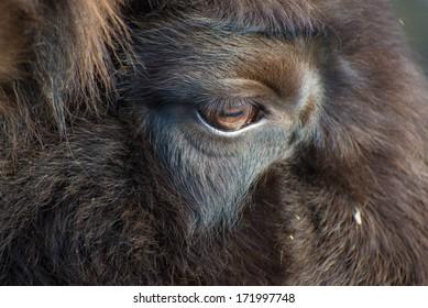 Close up of a Bison bonasus