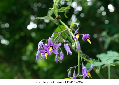 Close up of Bittersweet Nightshade blooms, also known as Deadly Nightshade.