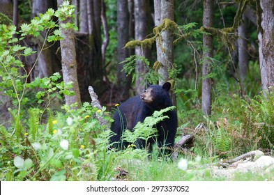 Close up of a black bear hiding in the forest in British Columbia Canada. The American black bear is a medium-sized bear native to North America. Black bears are omnivores.