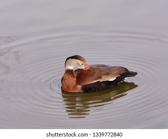 Close up of a black bellied whistling duck (Dendrocygna autumnalis), grooming his feathers in the water