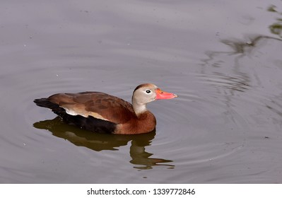 Close up of a black bellied whistling duck (Dendrocygna autumnalis), swimming in the water.