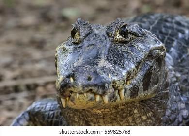 Close up of a Black Caiman, Pantanal, Brazil