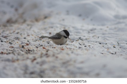Close up of black capped chickadee on the snow and ground