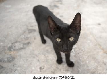 Close Up of a Black Cat
