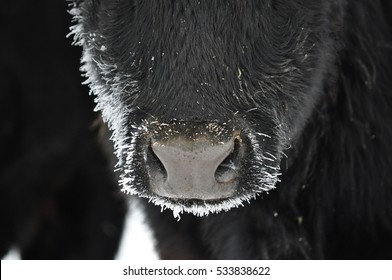 Close Up of a Black Cow's Nose With Frost on Her Nose and Face - Frosty Winter Day