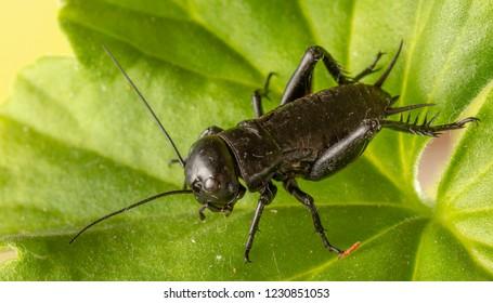 A close up of black cricket on leaf.