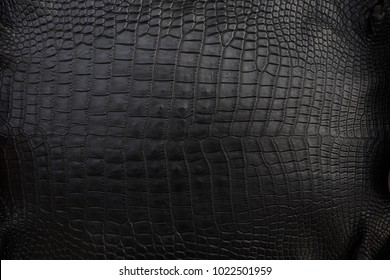 Close up of black Crocodile,Alligator belly skin texture use for wallpaper background.Luxury Design pattern for Business and Fashion.Top view surface in backdrop.