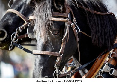 Close up of a black horse with harness tack and shallow depth of field