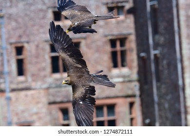 Close up of a black kite (milvus migrans) flying during a falconry demonstration