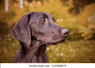 Close up of black labrador retriever dog in Finland. The dog is hunting type and slim. Image includes a effect.