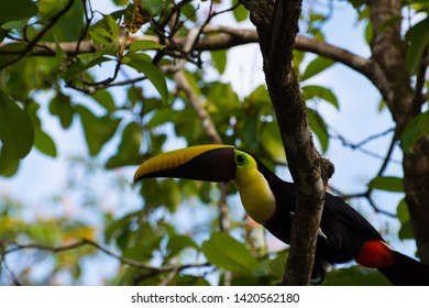 Close up Black Mandible Toucan on branch rainforest Osa Peninsula Costa Rica