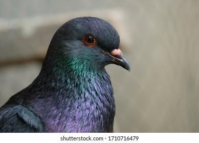 close up of black pigeon head