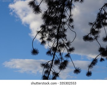 close up of black pine tree against a cloudy blue sky