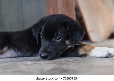 Close up of black puppy