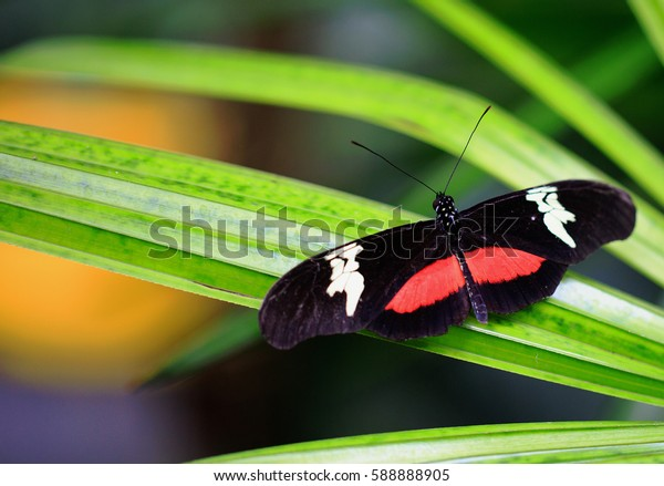 Close up of a Black, Red & White Butterfly resting on a vibrant green leaf