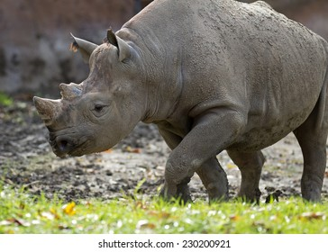 close up of a black rhinoceros walking