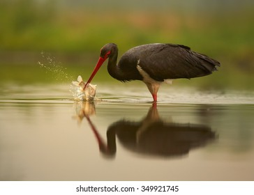 Close up Black Stork Ciconia nigra on hunt in shallow lagoon reflecting orange sky and green background, with fish in its beak close to water surface.