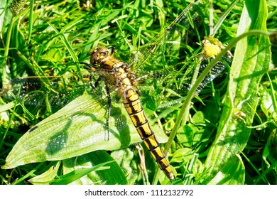 Close up of a Black Tailed Skimmer basking on the grass in the summer sunshine