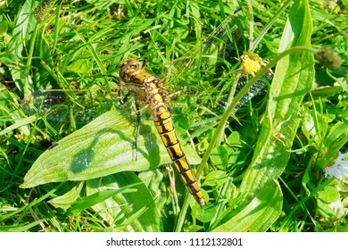 Close up of a Black Tailed Skimmer Dragonfly basking on the grass in the summer sunshine