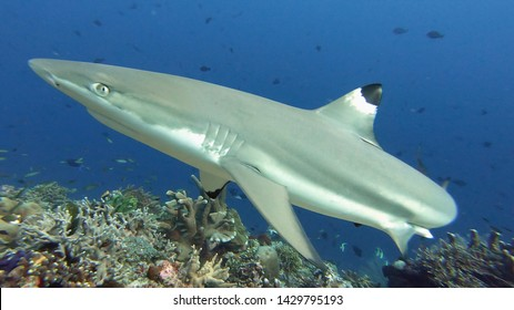 Close up Black Tip Reef Shark swimming in pristine coral reef, Halmahera, Indonesia. Curious friendly shark coming to check the camera. Scuba diving with sharks.