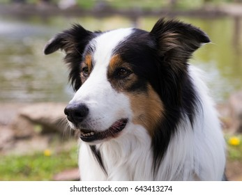 Close up of Black Tricolor Australian Shepherd Dog with mouth open looking to its right