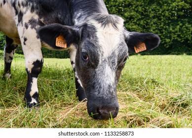 Close up of black and white cow eating grass. Grazing cow in a grass meadow.