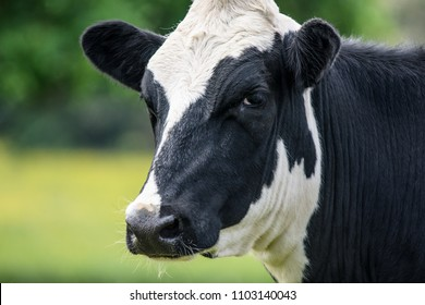 A close up of a black and white dairy cow