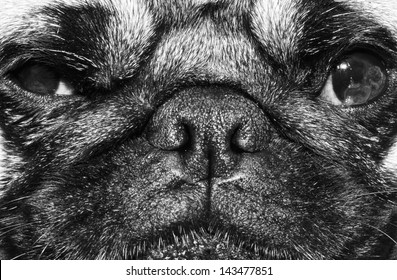 close up black and white image of a face of a pug