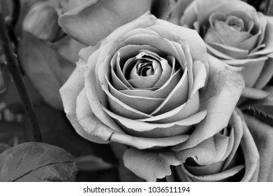 Close up black and white image of a rose