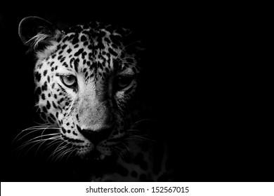 close up Black and White Leopard Portrait