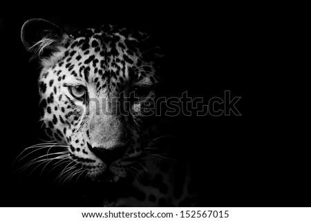 Photo De Stock De Close Black White Leopard Portrait Modifier