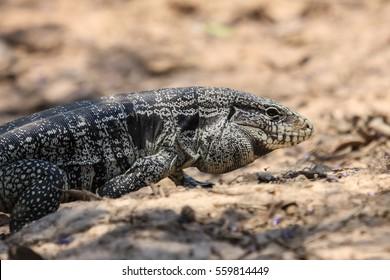 Close up of a Black and white tegu, Pantanal, Brazil