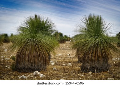 close up of blackboy trees in Western Australia, they have a crown of rigid grass like leaves above the single stem they are well adapted for harsh conditions