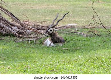 Close up blackbuck sit down in garden
