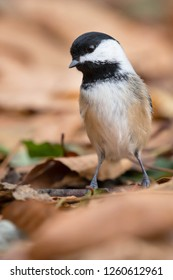 Close up of a Black-capped Chickadee standing in the autumn leaf litter on the ground. Lynde Shores Conservation Area, Whitby, Ontario, Canada.