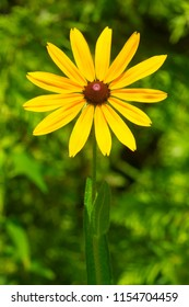 Close up of a Black-eyed Susan flower. Also known as Brown Betty, Brown-eyed Susan, English Bull's-eye, and Yellow Ox-eye Daisy. Rouge National Urban Park, Toronto, Ontario, Canada.