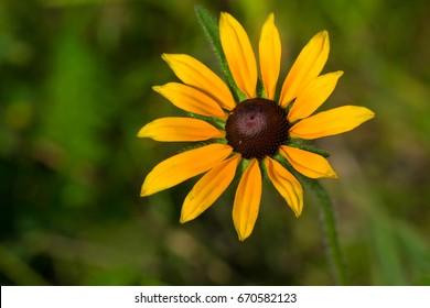 Image result for ENglish bull's eye flower