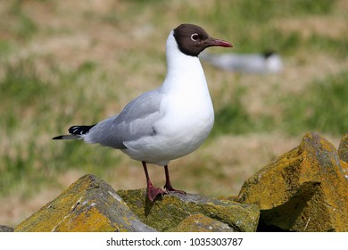 Close up of a Black-headed Gull in summer plumage.