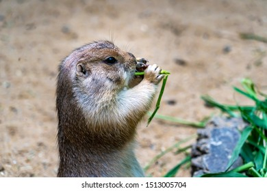 Close up Black-tailed prairie dog (Cynomys ludovicianus) feeding. Portrait of a cute Black Tailed Prairie Dog eating green plants at its hole. Wildlife and nature photography.