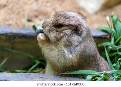 Close up Black-tailed prairie dog (Cynomys ludovicianus) feeding. Portrait of a cute Black Tailed Prairie Dog eating green plants at its hole. Wildlife and nature photography