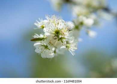 Close up of blackthorn flowers on a branch in spring with a background of blurred sky.  Prunus spinosa, flowers of blackthorn, flowering branch of blackthorn, sloe on a pastel blue background