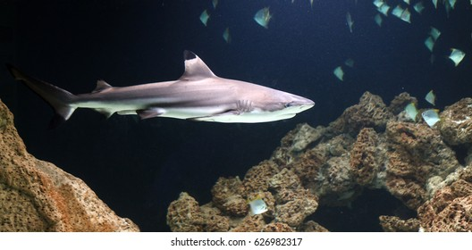 Close up of the blacktip reef shark (Carcharhinus melanopterus) with its black fins in dark tropical waters