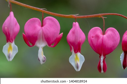 Close up of bleeding heart flowers, also known as 'lady in the bath'or lyre flower, photographed in Surrey, UK.  Flowers are perfectly heart shaped.
