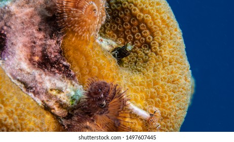 Close up of Blenny fish in coral reef of the Caribbean Sea around Curacao
