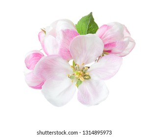 Close up of blooming apple twig isolated on white background.