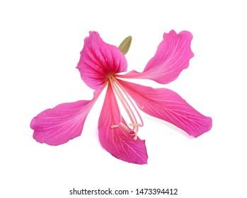 Close up blooming Bauhinia purpurea flower (Camel's foot flower)