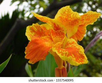 close up blooming beautiful Canna lilly in the nature