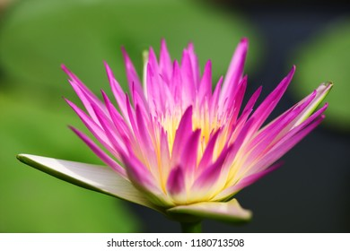 close up of blooming beautiful lotus flower