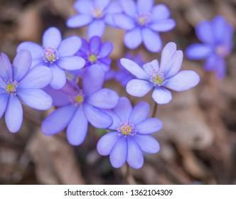 close up blooming blue liverwort or kidneywort flower Anemone hepatica or Hepatica nobilis on dirt background, selective focus, copy space, spring floral backdrop